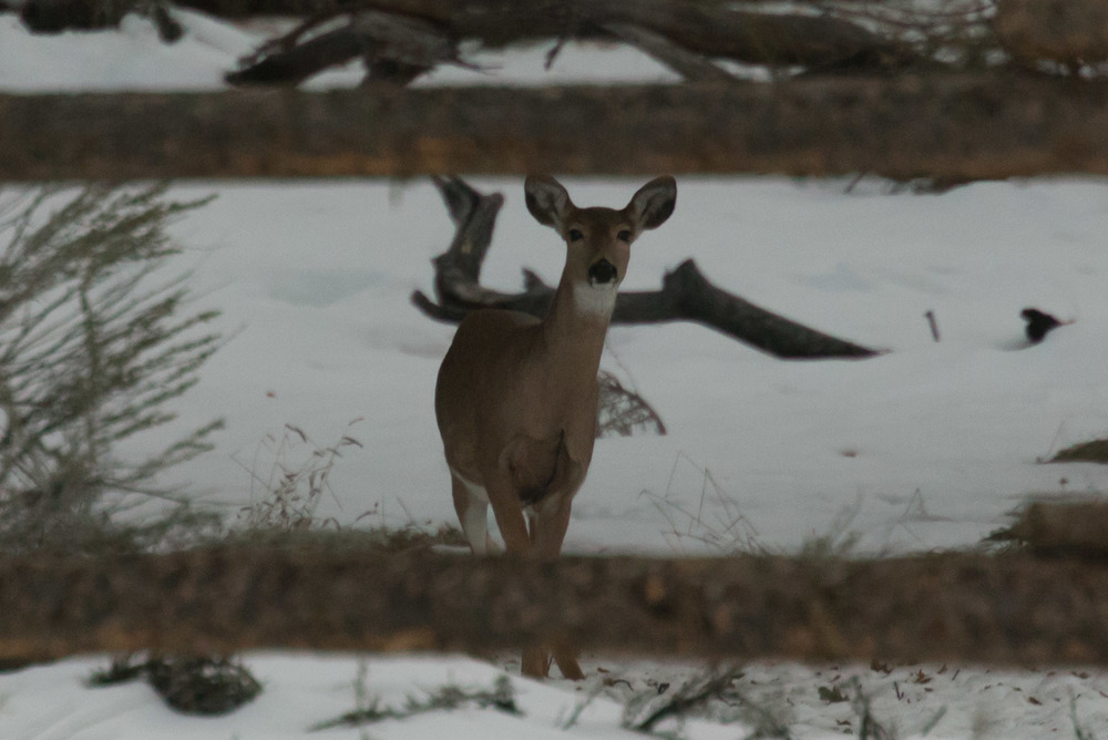 Deer at the Devils Tower campground