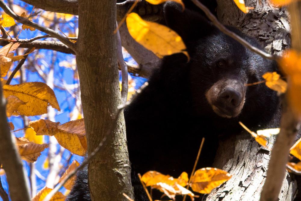Black bears, vegetarian but their tree climbing tendency had me likening them to the Australian Drop Bear.