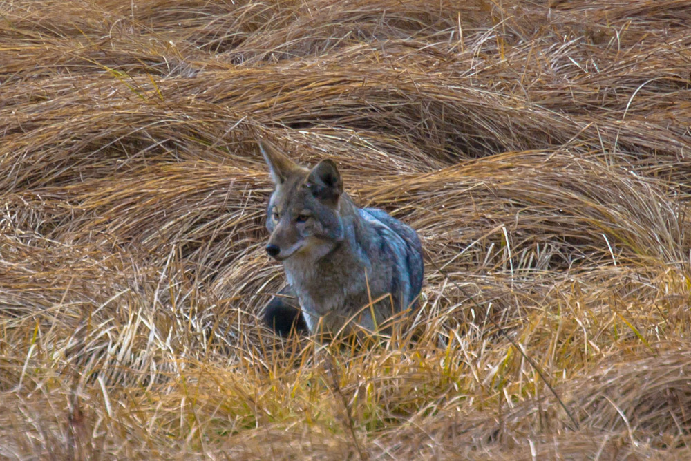 Coyote out for breakfast in the valley