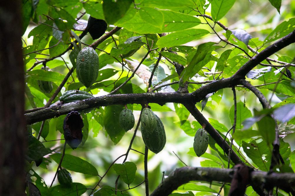 Coca fruit