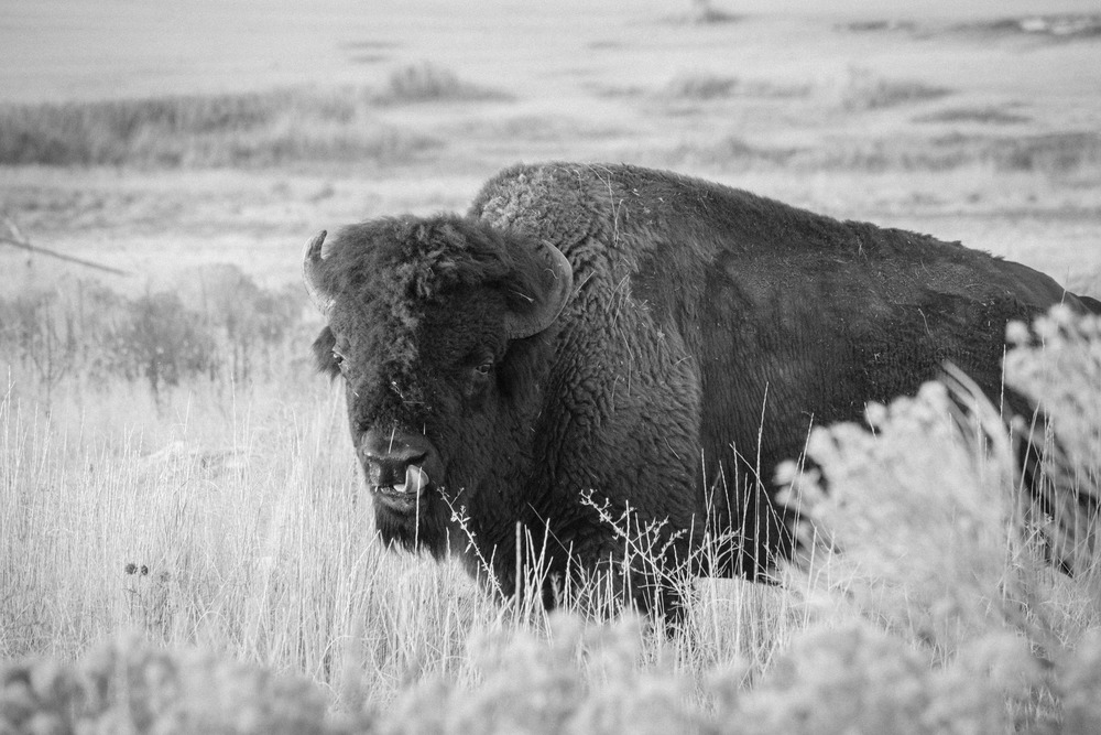 Bison on Antelope Island, Utah, United States