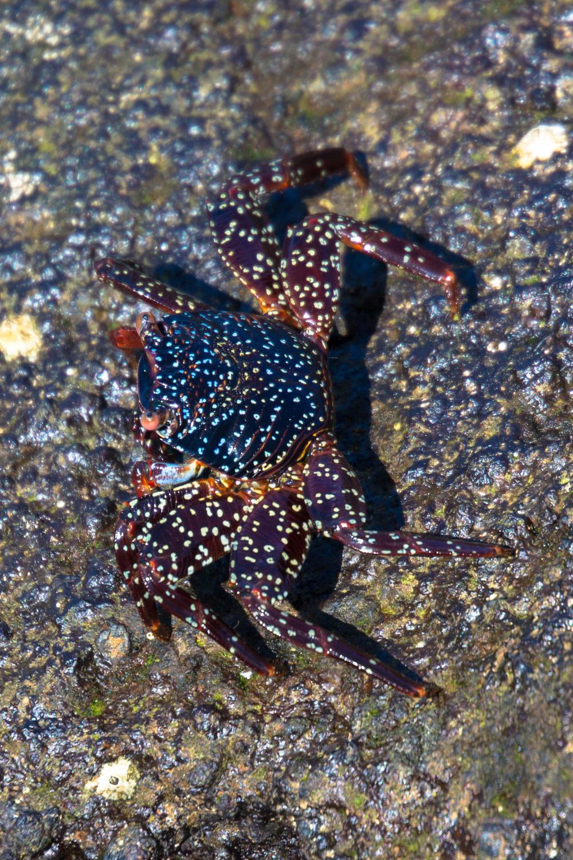Juvenile Sally Lightfoot Crab