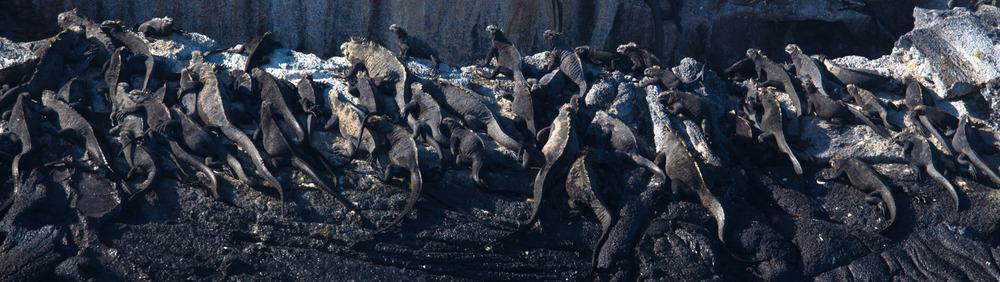 Marine Iguanas on Isabela Island, Galapagos