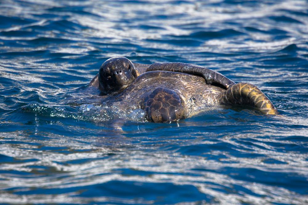 Sea turtle sex!
