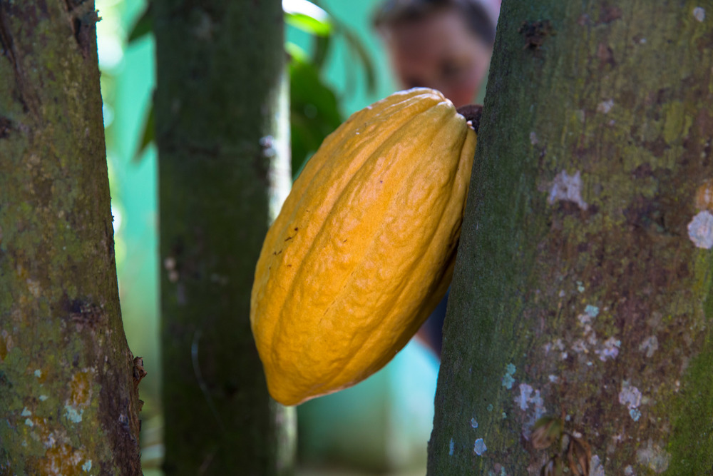 Cocoa growing on the tree