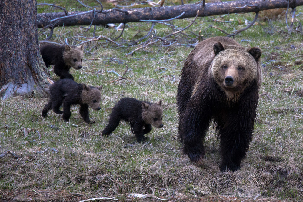 A mother Grizzly bear with her three cubs.