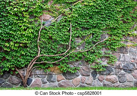 vine-growing-on-a-rock-wall-picture_csp5828001.jpg