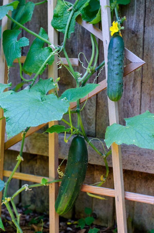 cucumber3.jpg