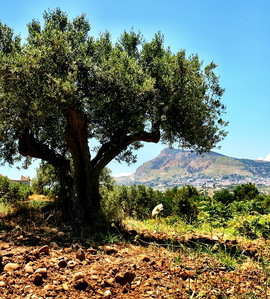 Adopt Your Own Olive Tree : Nudo Italia   in:  Global Finds