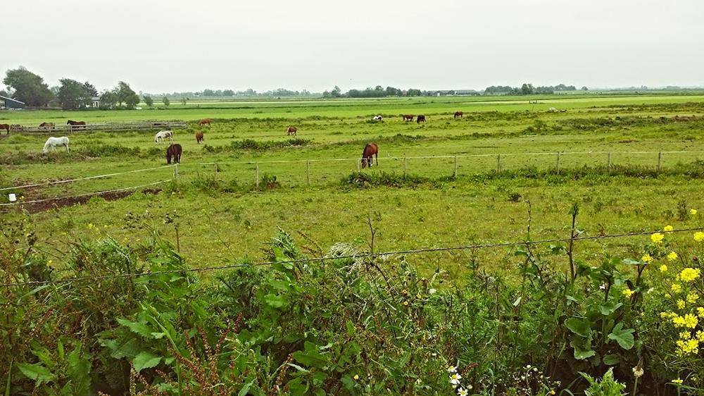 Horses graze in Broek in Waterland, Amsterdam.