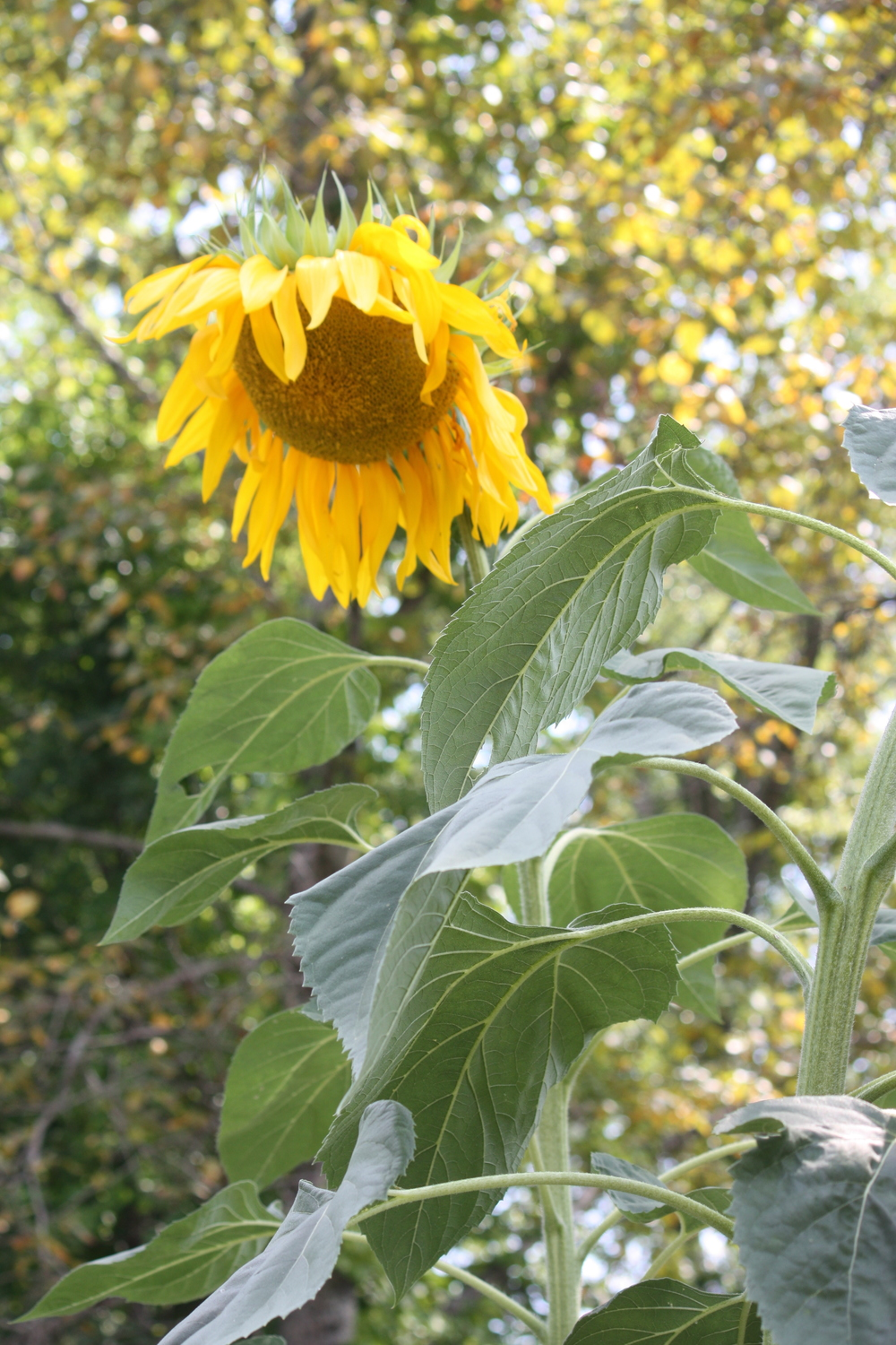 Who will be growing the GIGANTIC Sunflowers this year?