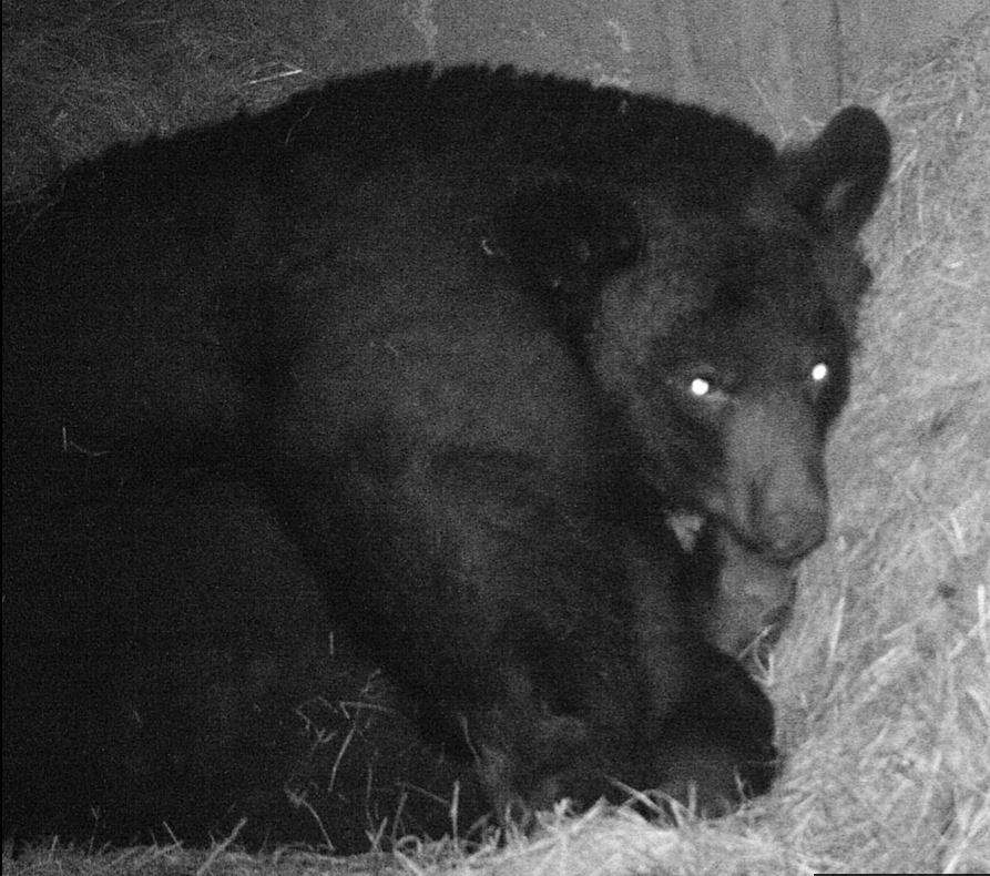 Barnaby turned out to be Barnabee, SHE IS PICTURED HERE ON MARCH 3, with her cubs beneath her. REFUSE STAFF ESTIMATE she went from 35 lbs LAST September to about 125 lbs now. PHOTO COURTESY ADIRONDACK WILDLIFE REFUGE.