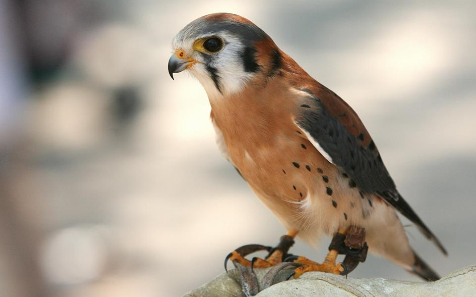 Schroon Lake Library will be hosting a Raptor and Birds of Prey Program on Thursday August 3rd at 1:00 pm.