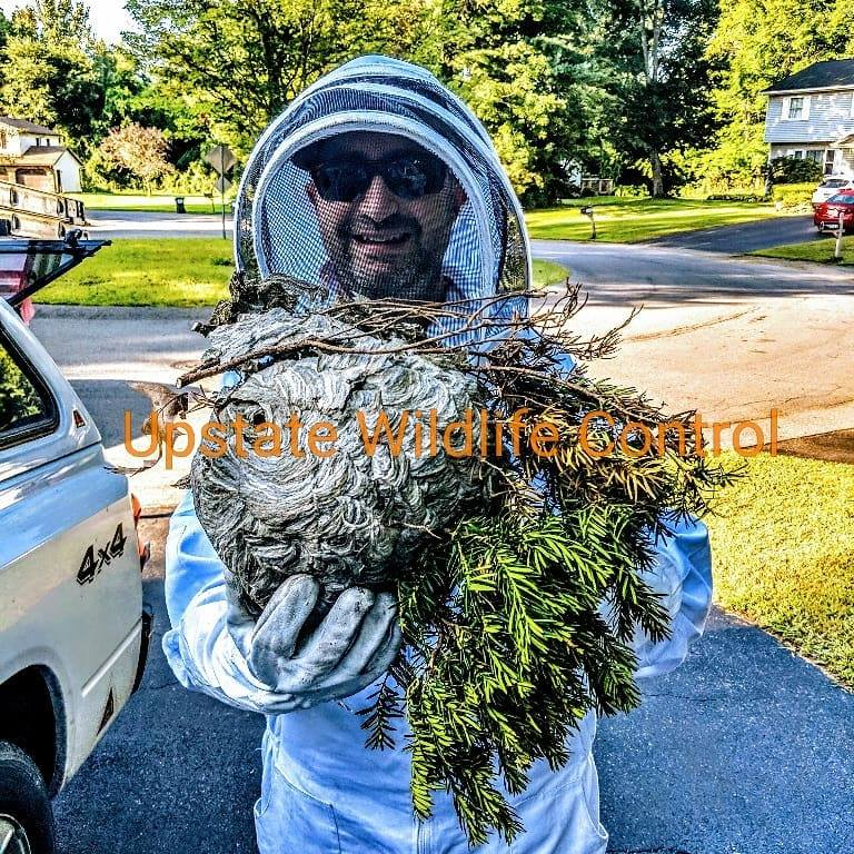 Upstate Wildlife Control can tackle anything, including the removal of a Bald Faced Hornets nest.