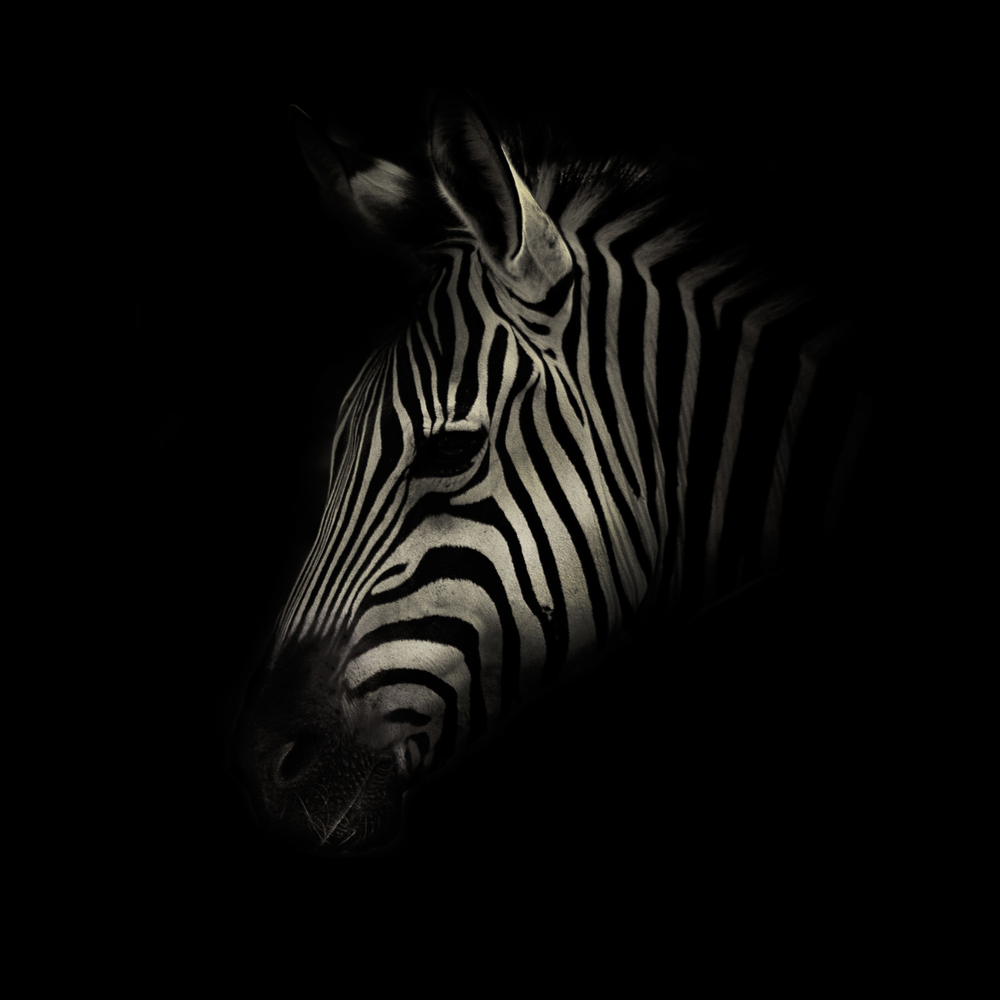 Zebra in B&W / Canvas & limited editions available now.