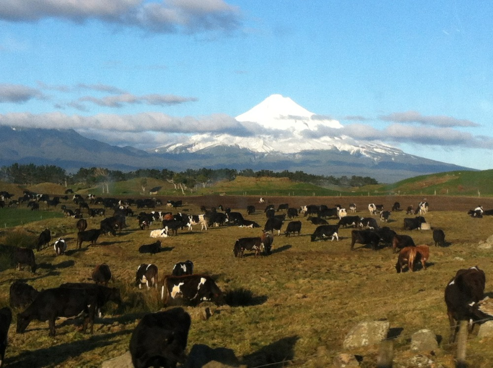 Cows enjoying the clear view of Mount Taranaki