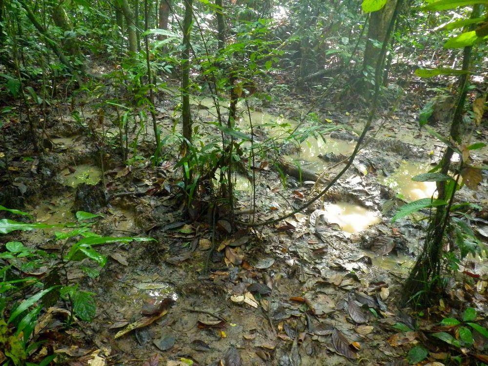 Borneo Pygmy Elephant Tracks