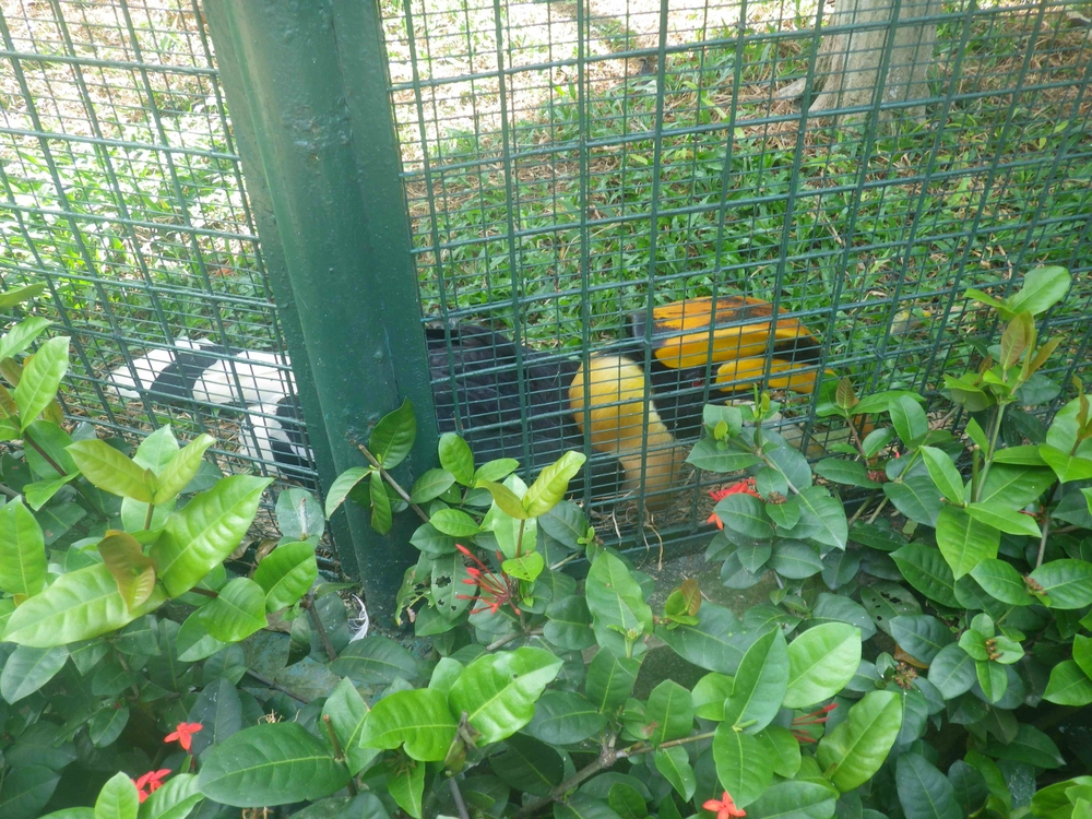 Just awful...  These almost extinct hornbills should not be in cages!