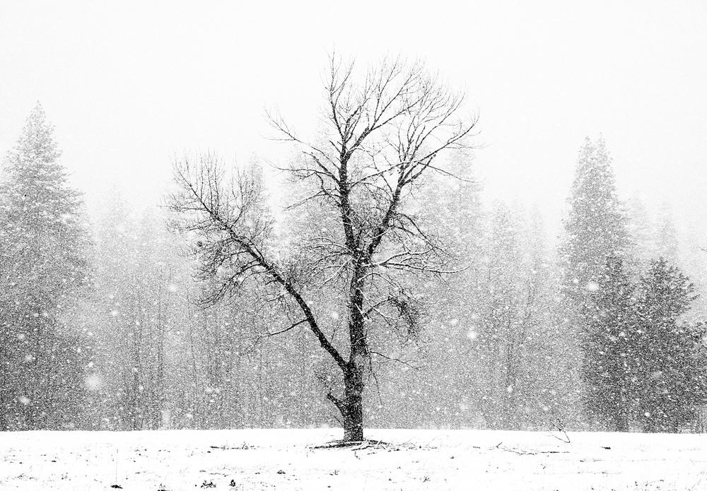 (S)tree in snow IS13.5x9.5s.jpg