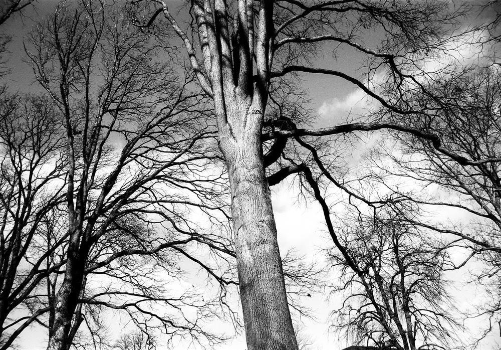 (S)tree veins-contrast13.5x.jpg