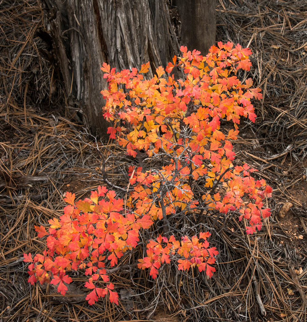 Rhus and needles
