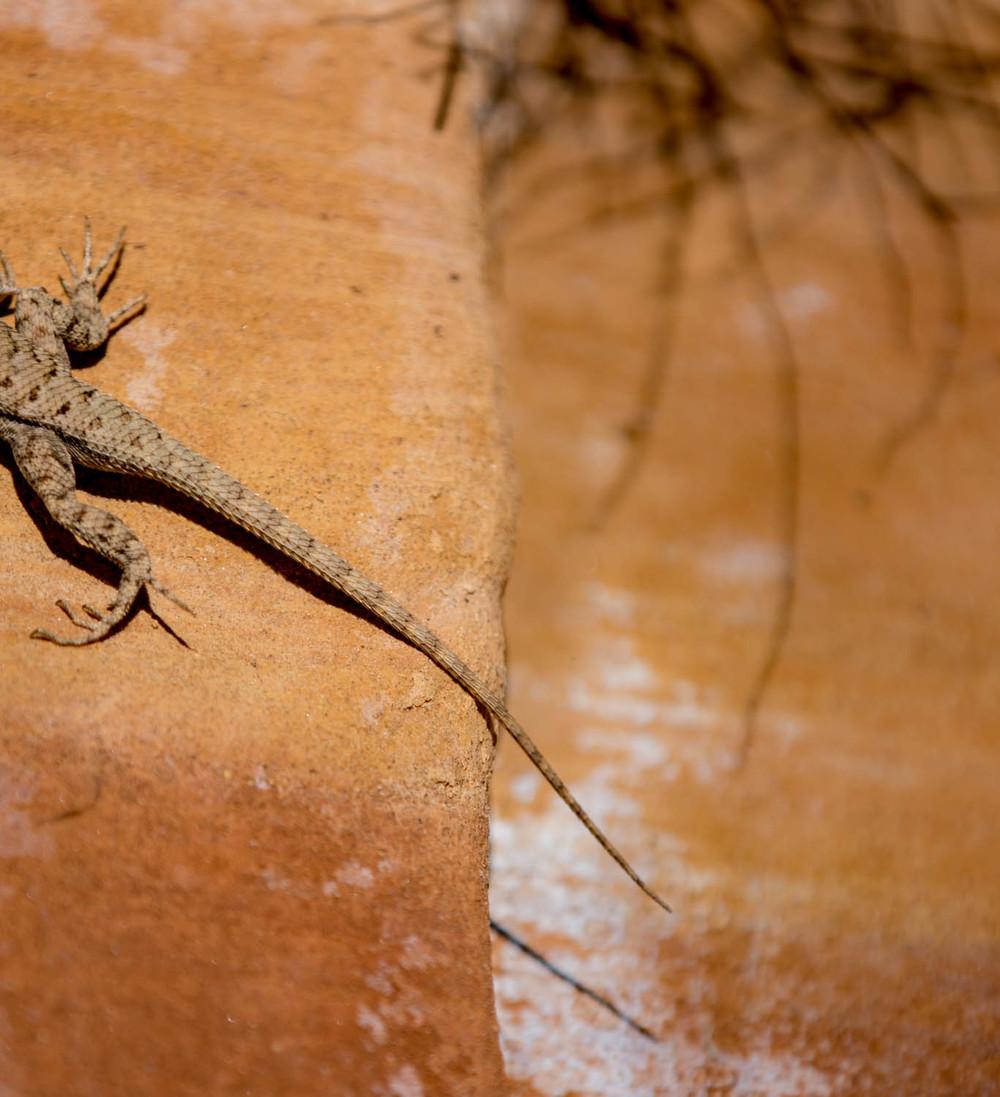 Lizard and rock.jpg