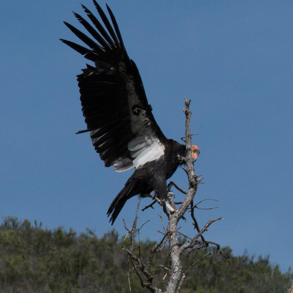 Climbing condor-3.jpg