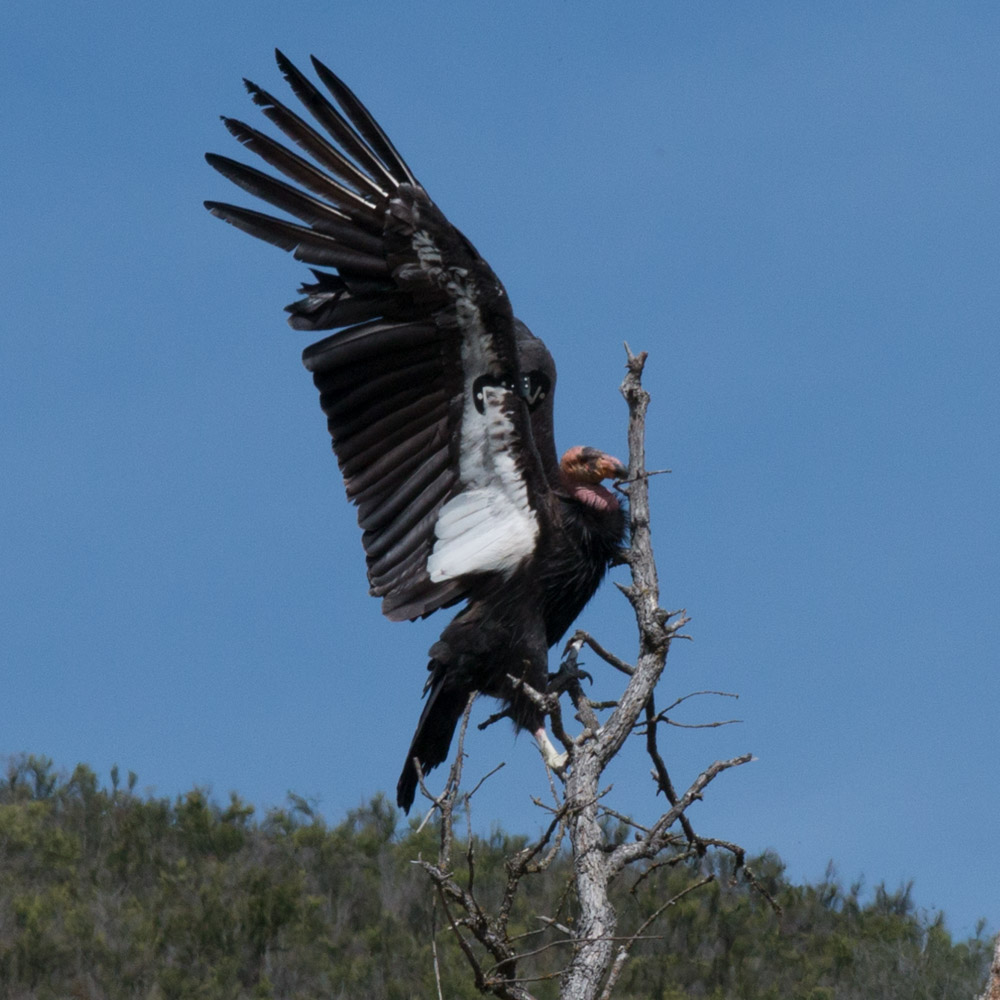 Climbing condor-5.jpg