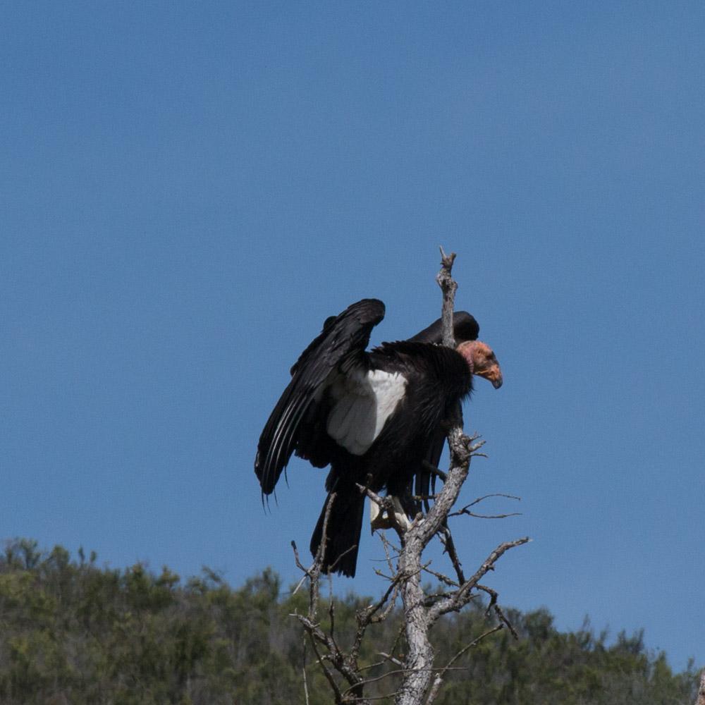 Climbing condor-7.jpg
