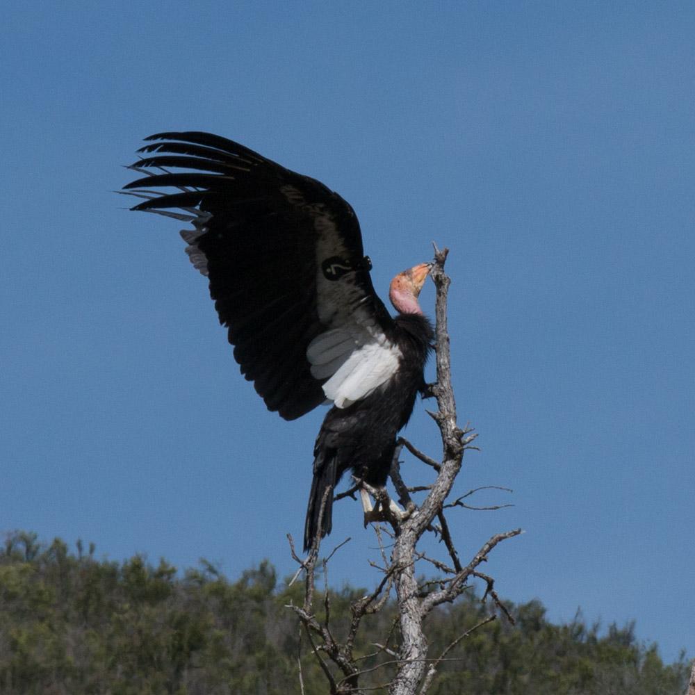 Climbing condor-8.jpg