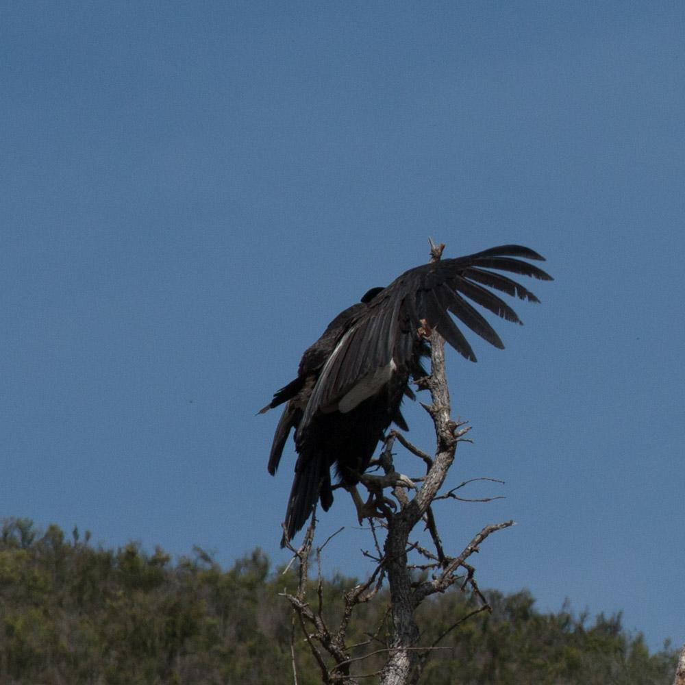 Climbing condor-10.jpg