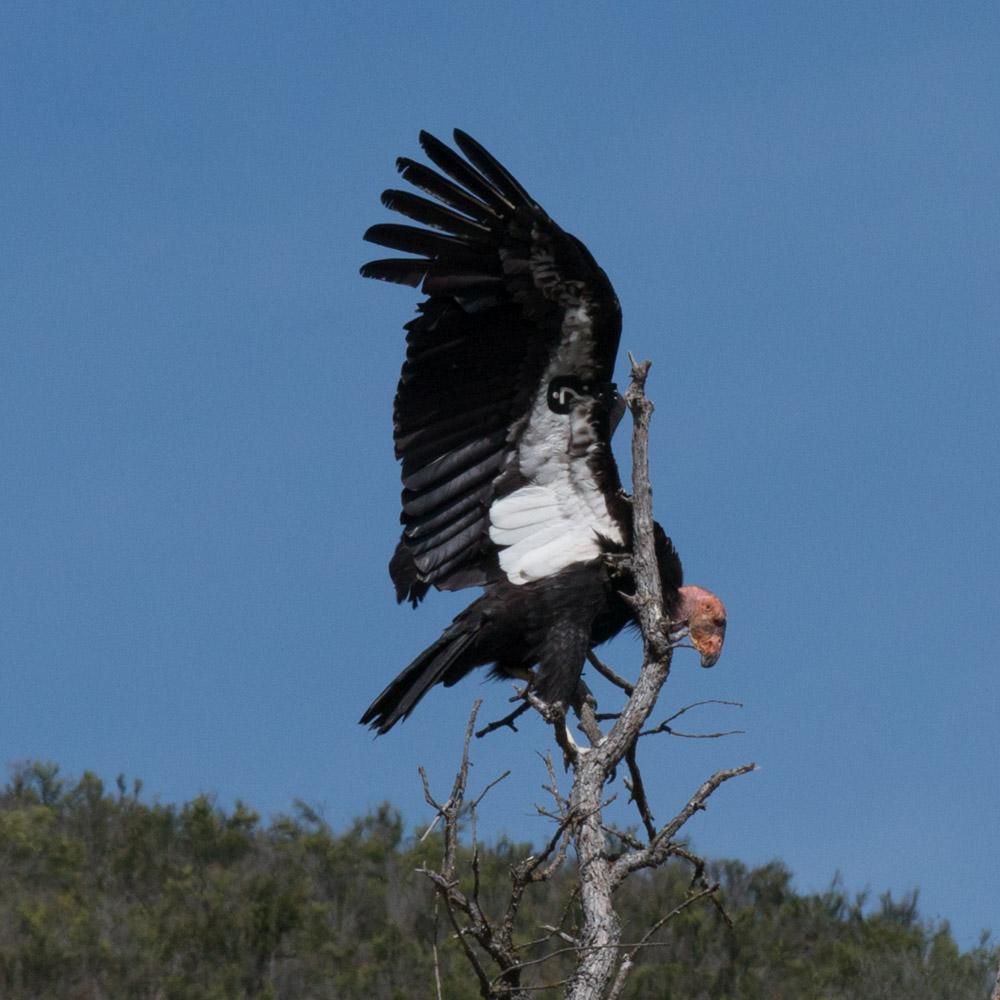 Climbing condor-11.jpg