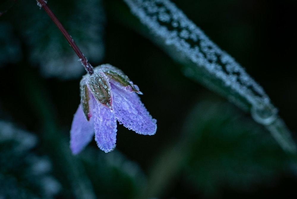 Frost Crystals and Petals