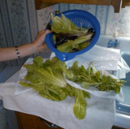 lettuce01.JPG