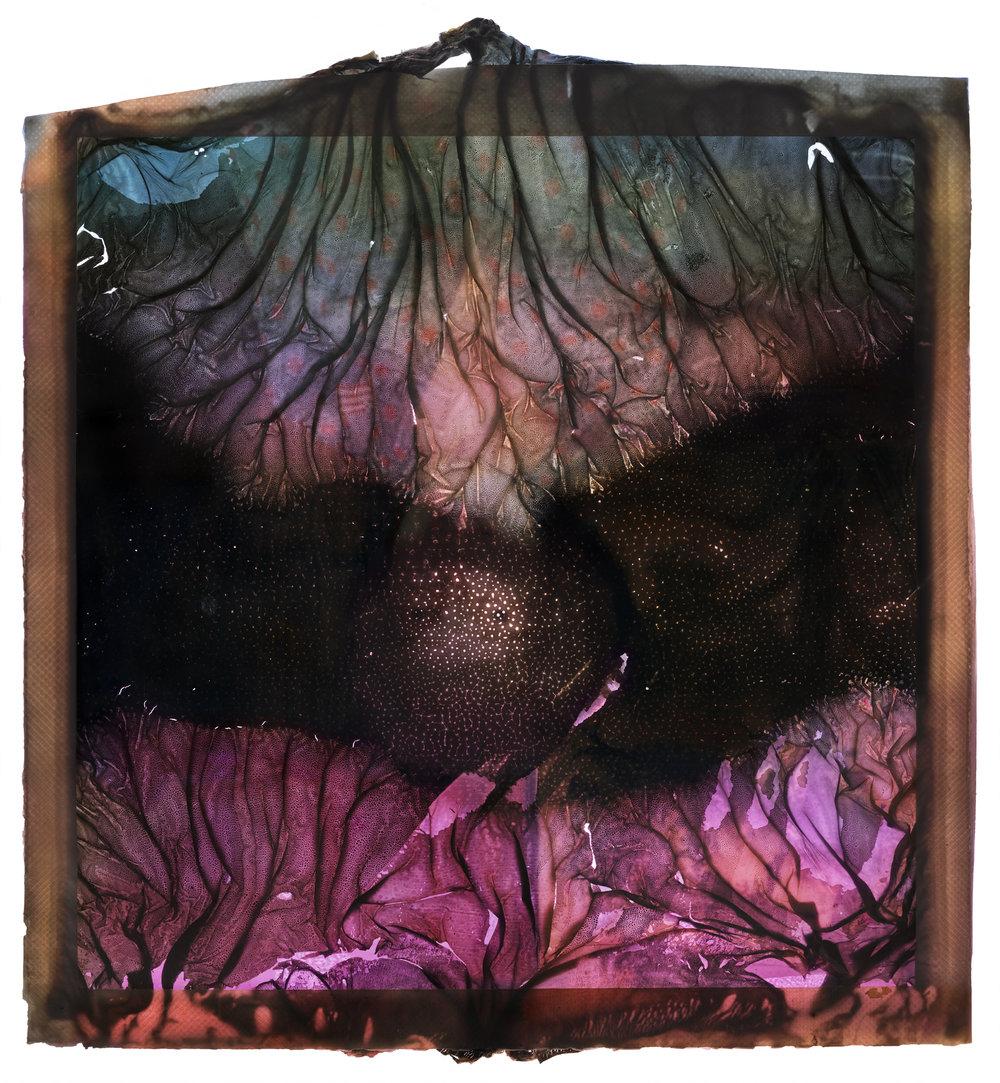 "Foxglove . 38x42"" Archival pigment print. 2017"