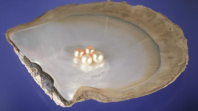 Cultured pearls from Australia, Indonesia, the Philippines, and Myanmar, are grown in the Pinctada Maxima mollusk. This shell one is called gold-lipped because of the color of the outer rim of its mother-of-pearl layer.