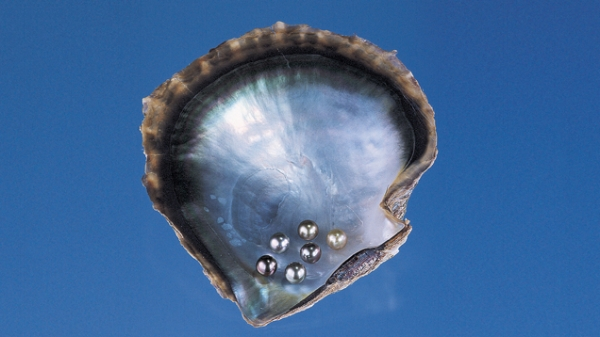The black-lipped mollusk can produce a variety of cultured pearl colors. The color of the mother-of-pearl layer is often related to the color of the resulting cultured pearl's nacre. - Courtesy A & Z Pearls and Tasaki Shinju Co