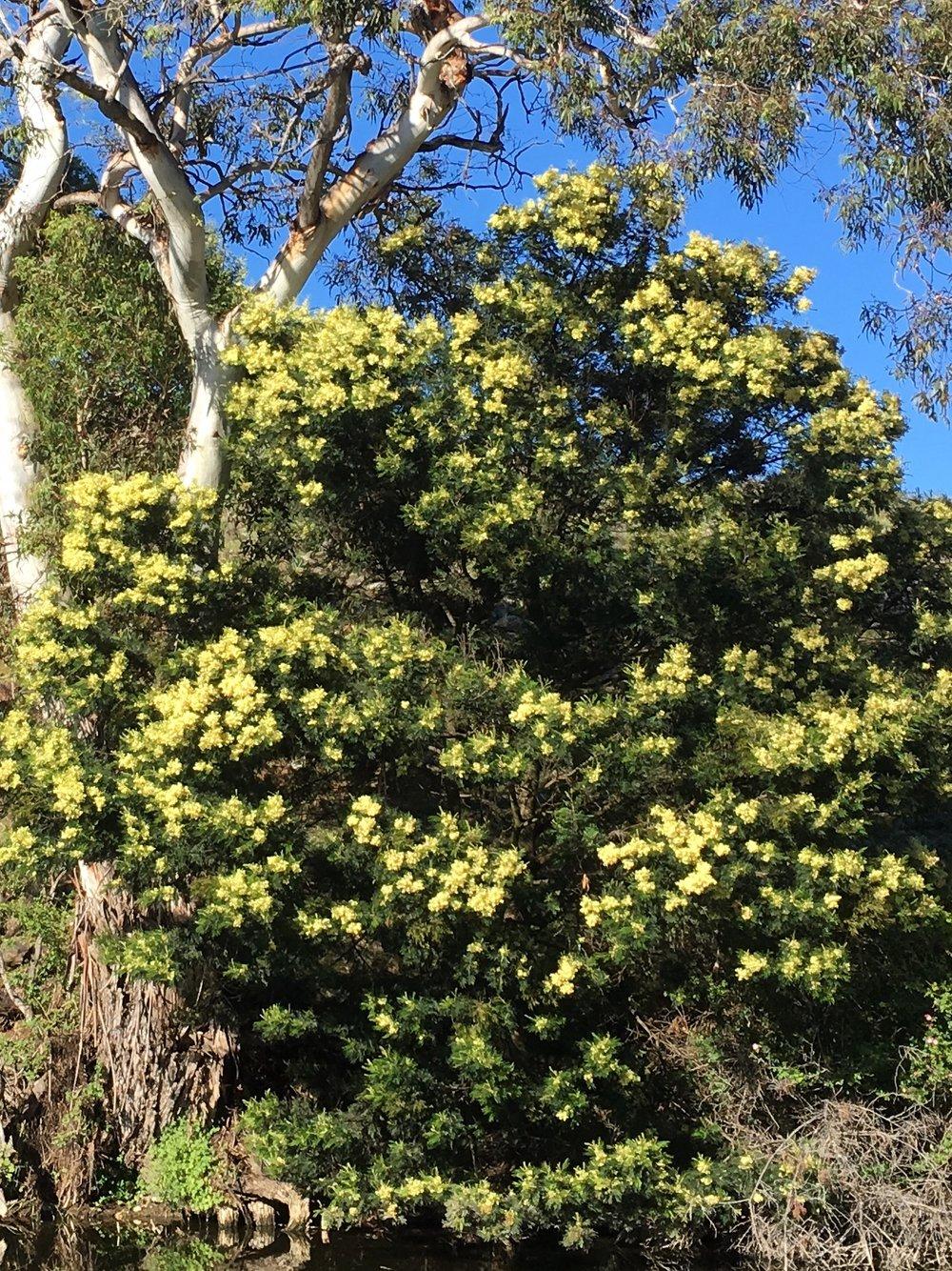 Acacia Mearnsii - Black Wattle.jpg
