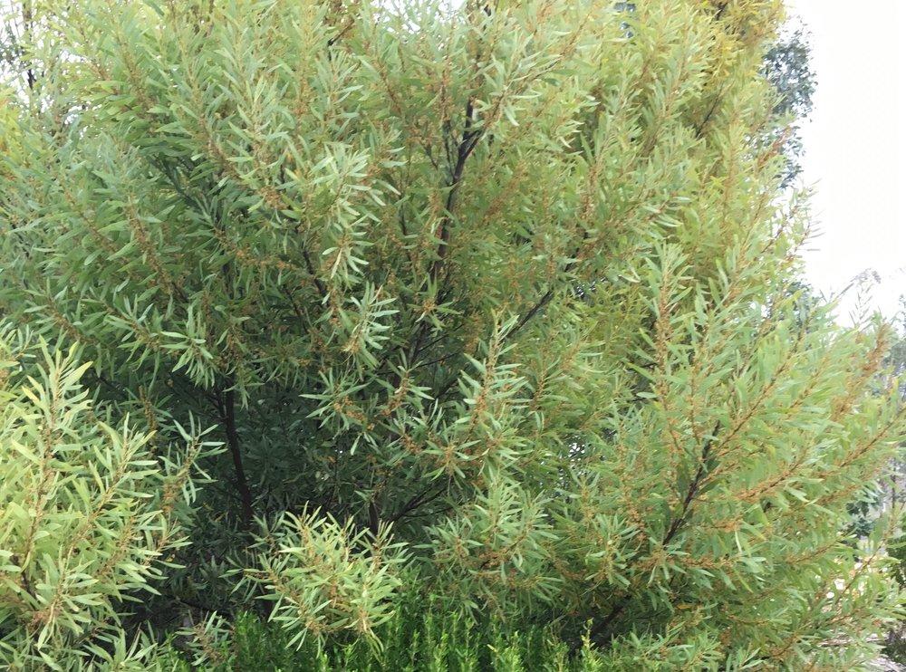 Acacia Rubida - Red Stem Wattle.jpg