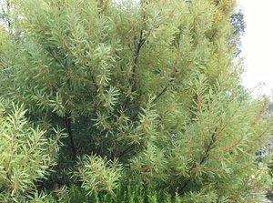 Acacia Monaro Native Tree Nursery