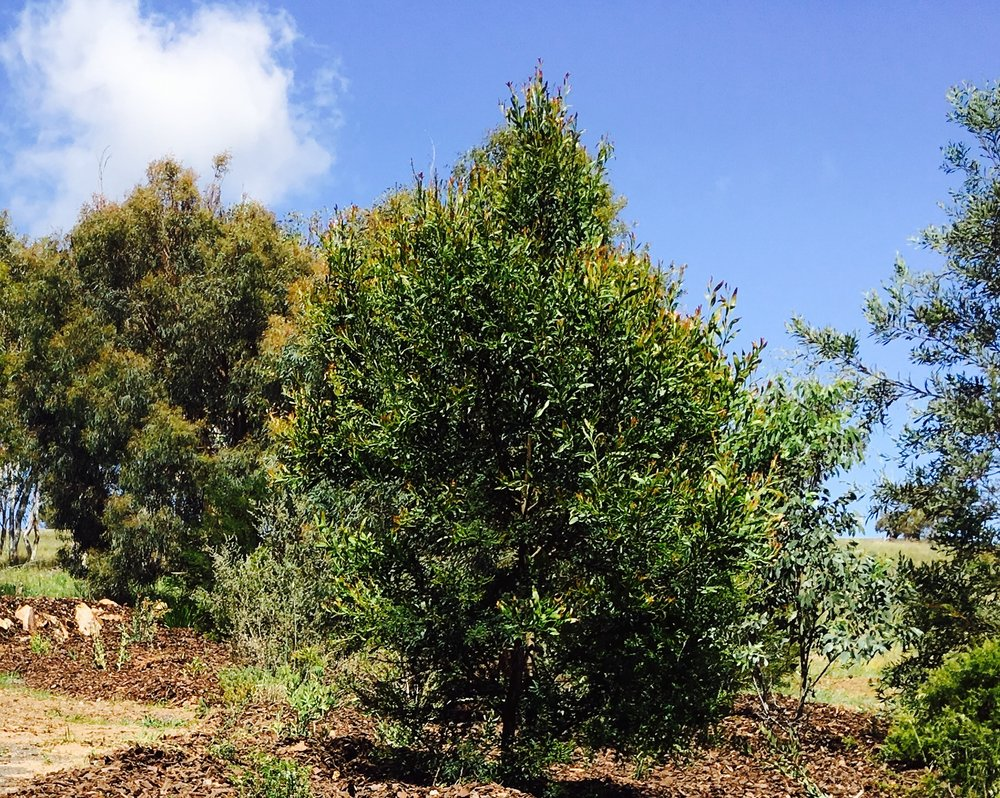 Acacia Melanoxylon - Blackwood Wattle.jpg