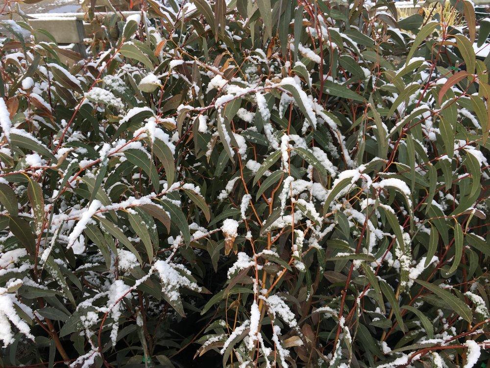 Eucalyptus Pauciflora.JPG