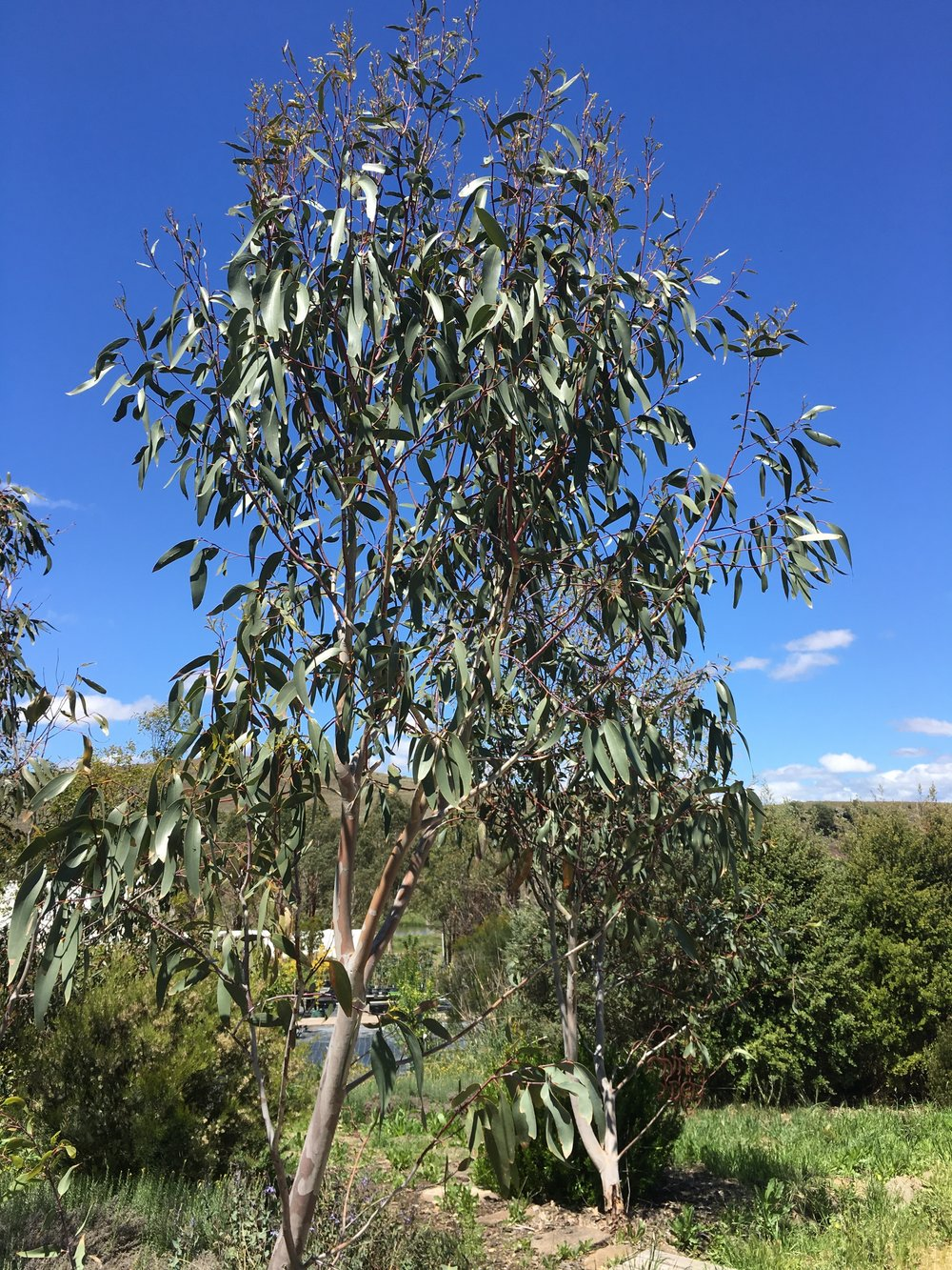 Eucalyptus Pauciflora 2.JPG