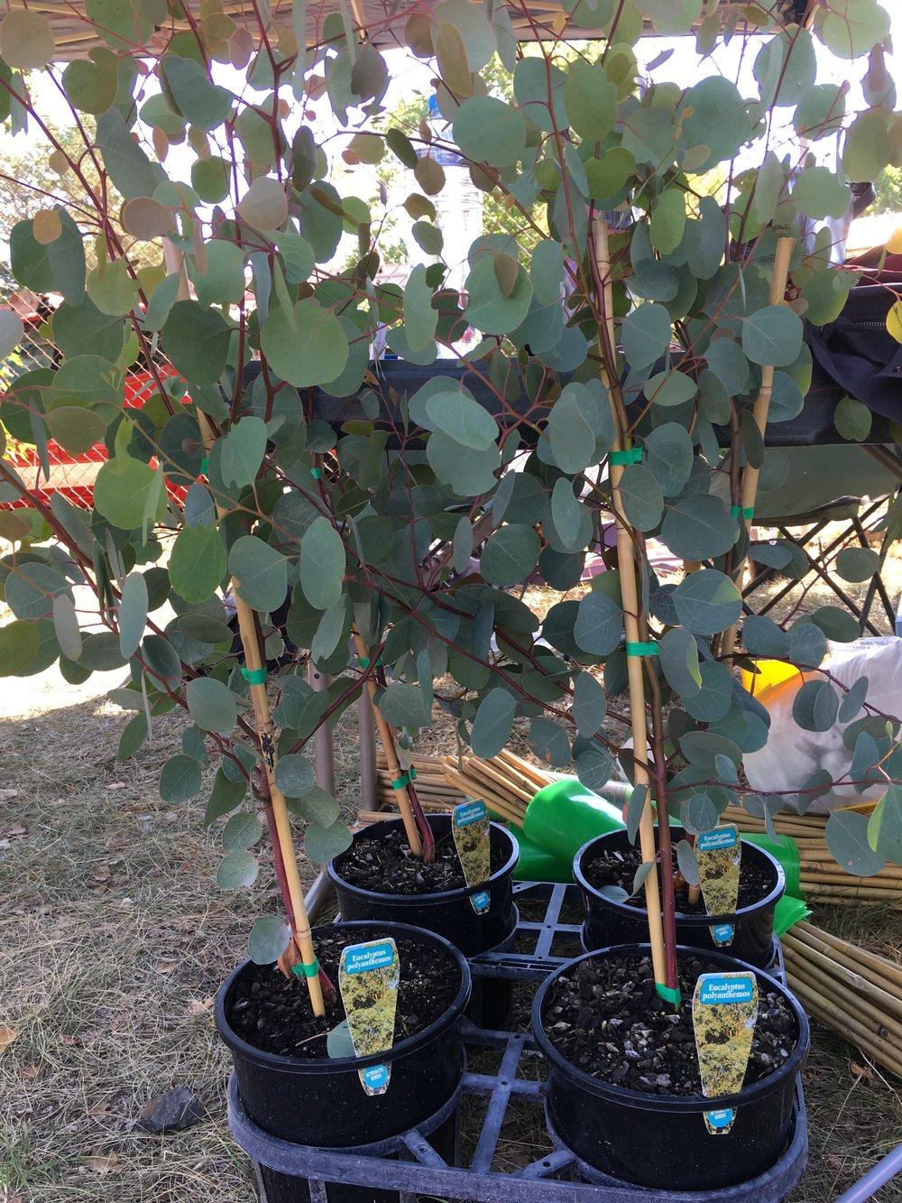 Eucalyptus Polyanthemos.JPG