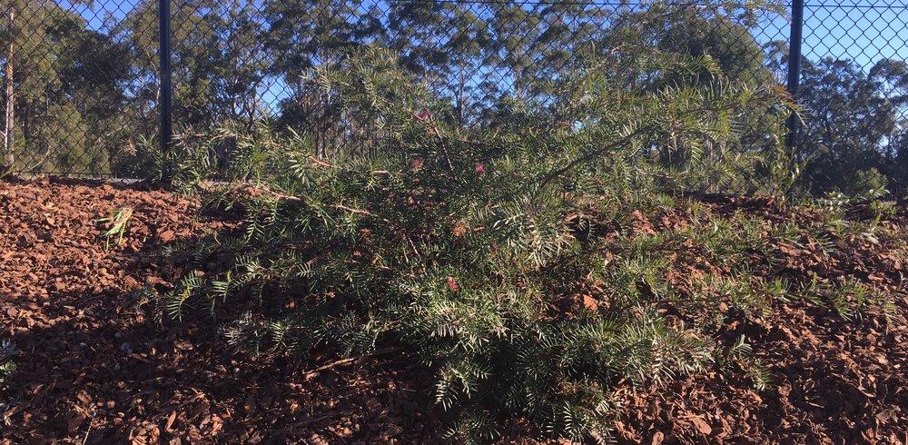 Grevillea Bronze Rambler 2.jpg