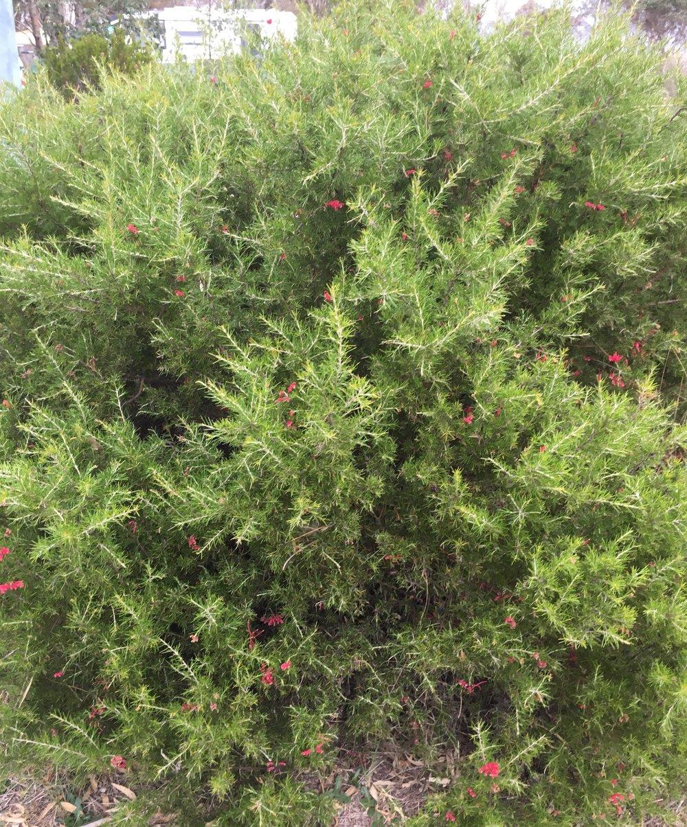 Grevillea Rosmarinifolia.jpg