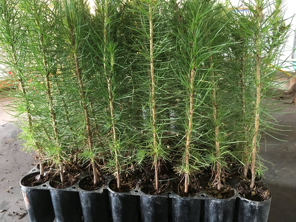 Pinus Radiata.JPG