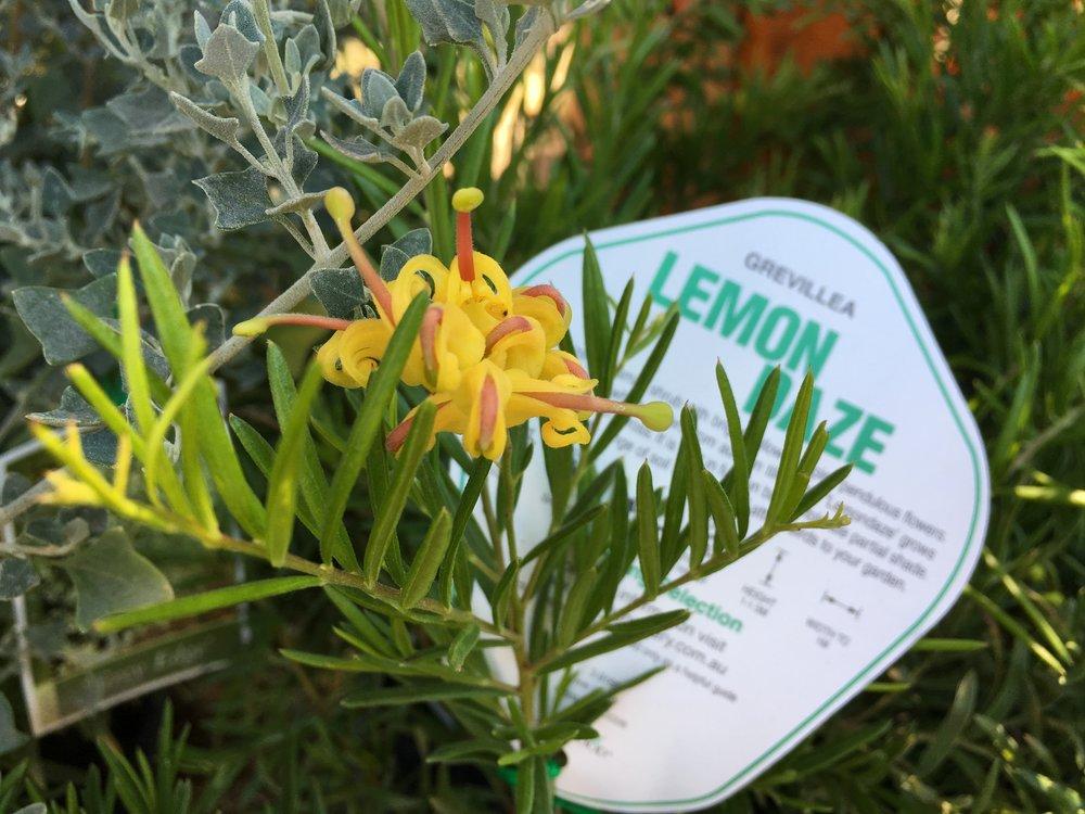 Grevillea Lemon Daze.JPG