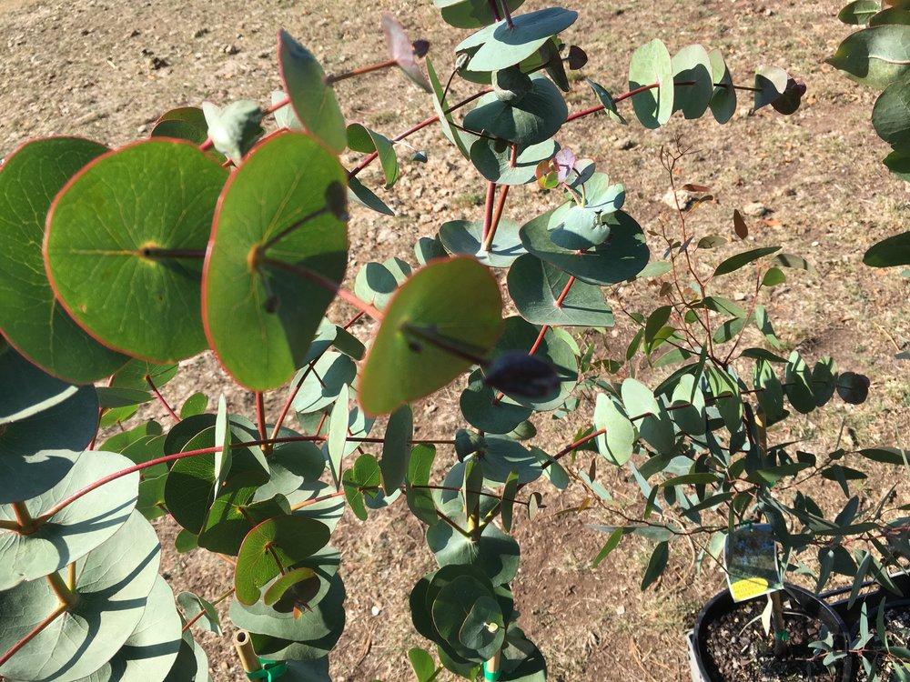 Eucalyptus Perriniana.JPG