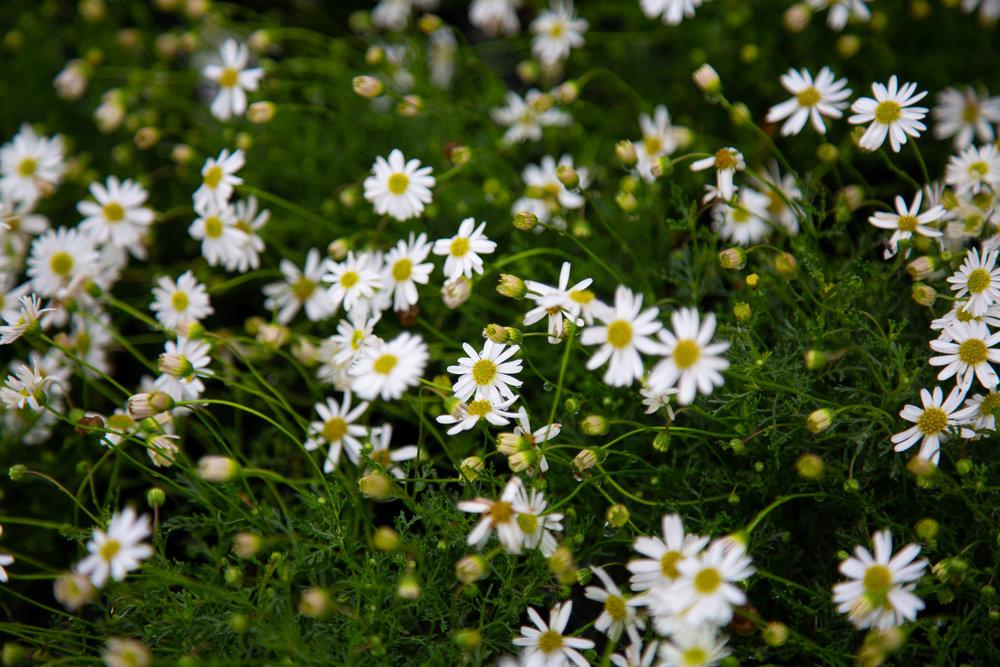 Rhodanthe Anthemoides.jpg
